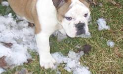 I have a 15 week old purebred  bulldog. white and brindle. great temperment. Must sell!!1