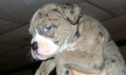 I have 5 Alapaha Blueblood Bulldog pups left out of this STUNNING litter, these pups are raised in home, mother and father both on site, !st shots are complete as well as deworming veterinarian OK'd with full check list include, You do not have to worry