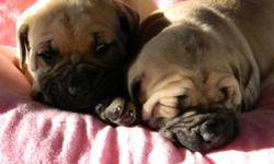 We have a gorgeous litter of 6 Bullmastiff puppies. 1 male and 1 female are still available. Colors are brindle and fawn. Both parents are brindle. Each puppy comes with health guarantee & lifetime support. First vaccinations, deworming, Vet health