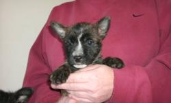 Three adorable cairn terrier puppies for sale. Located in the Mavilette , Salmon River area. All three puppies are females. One black one, one medium brown one and one light brown one !! Parents are both pure breed. Ready to go soon to a good home !!)