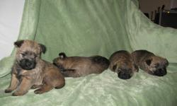Four Cairn terrier puppies available for sale, 2 males and 2 females. They will be ready to be rehomed on January 11, 2012.   They have been dewormed twice since they were three weeks and they will have their first vet check and immunization next week.
