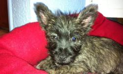 13 week old male brindle Cairn Terrier crossed with a West Highland Terrier. Had first vaccination and dewormed. Second shots due. Sleeps in kennel at night. Still working on housebreaking him. Serious inquiries only please. Medium size plastic kennel