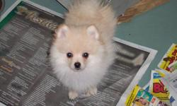 "Meet ""Timmy"" a Pure bred Pomeranian male Puppy. Born... October 11th 2011. Colour...Cream. ""Tim"" has a mild heart mummer.He has had 2.Vaccinations and Vet.check ups. Our Vet .says he will probably out grow this heart mummer with out surgery. ""Tim""needs a"