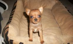 Darling Carlin Pinschers for sale. Born Oct.31 2011, will be ready for Christmas. The little pups are on solid food and water and have started house breaking.These puppies absolutely love to be held.They are very playful and great with my kids and the