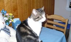 """""""Kit-Kat"""" is my name. I am approximately one year old, rescued as a stray, on the waiting list of the S.P.C.A. to be neutered. I am super affectionate, very clean, and I get along well with dogs. Please call 705 725-8517 for more information."""