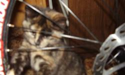 CC is a female cat who is almost six years old. I bought her when i was thirteen and have kept great care of her , however now i live on my own and in a different city. She is terrified of the car , and the long car drives would stress her out so she is