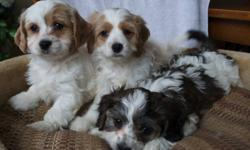 Cavachon Cavalier King Charles Spaniel X Bichon Now 11 weeks of age Non shedding and Hypoallergenic Family Friendly Female is Tan and White $550 Male is Tricolour $650.00 WHY CHOOSE OUR CAVACHONS M and F Peace of Mind:   We are reputable, experienced and