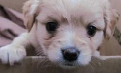 Dakota and Dixie are two Cavalier King Charles cross puppies. Their father, Charlie, is a purebred Cavalier King Charles owned by a family member and their mom, our family dog Sadie, is a Pomeranian, Eskimo, Spitz cross. Dakota is much more outgoing and