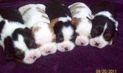 6 Purebred Cavalier King Charkes Spaniel Puppies available in Blenheim and Tri colours.  Two blenhiem males and 1 female and 2 tri males and 1 female.  Both parents are on site and have been Heart cleared in January 2011.  Mom is a tri color and dad is a