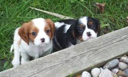 Cavacharms Cavaliers has a litter of purebred Cavalier King Charles Spaniel Puppies available for their new homes next week. Available in both tri and blenheim colors.  Mom and dad are AKC and CKC registered with dad being a couple points away from being
