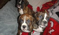 Triple T Boxers has2 beautiful flashy brindle females available and one pending.  They were born December 2nd 2011, and are ready to go to their forever homes.  Sire is Porter's Tucker (imported from Kansas) and the Mother is Triple T's Tika. Puppies are