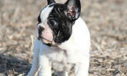 Two ckc french bulldog puppies looking for there forever homes.  The male is a brindle/pied he is nice and short with a big head the female is a blk masked red fawn she is a beautiful puppy.  Both are well socialized, and are ready to go.  I am a small