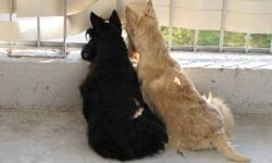 Our beautiful Purebred Scottish Terrier puppies( Girls and Boy)are going to a new home with all the required CKC ( Canadian Kennel Club)  documents , de-wormed , micro chipped,vaccinated,potty trained and knowing a few basic commands. We do not cage our
