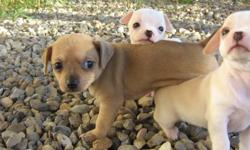 Three adorable chihuahua puppies for sale! Both mom and dad come from loving homes and both have loving, loyal, and calm (quiet) personalities! The puppies are showing to be the same!  They are not very vocal, but they have a lot of playful energy! Male