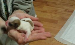 Hello i have 6 Chihuahua/Dachshund for sale 3 males and 3 females mom is full breed Chihuahua and dad is Chihuahua/Dachshund both parents are on site ready to got to approved homes only second week in Janurary I have enclosed some pictures of puppies mom