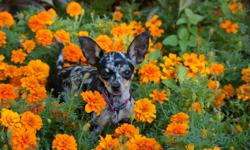 """I am offering my beautiful Merle """"Bella"""" for sale.   After requiring two c-sections, I have come to the heartbreaking decision to part with her to the right family. Bella is AKC registered, 4.2 lbs, up to date on all her shots and I will spay her (at my"""