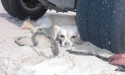 Long hair chihuahua white....Adorable puppy looking for a good home....Flaffy needs attention, he is very playfull... If you are the family for him call me at 647 778 6613