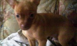 1 male chihuahua pug cross puppy for sale. Very energetic and playful. From a litter of 4 last one left. 200 obo.