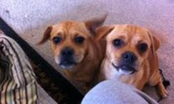 A PERFECT CHRISTMAS PRESENT!!! * call Jamie 647-501-5775 ** ONLY 1 LEFT DONT MISS OUT!! **email me for pictures!!** HURRY DON'T MISS OUT!!!!! Hello I have 2 amazing puppies 4 months old they are light brown in color , they are both male very very very