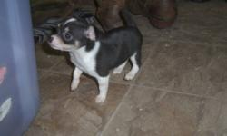 chihuahua puppies for sale, 8 weeks old, 1 girl, 1 boy. mom is 4 lbs, dad is 5 lbs. so puppies will stay small. neither parents bark and neither do the puppies. both puppies have their first set of puppy shots and have been dewormed. both are very