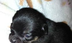I have 2 litters of puppies available for the New Year!!! Born the same day on November 5th. First litter: 4 chihuahua X pomeranian All boys 2 black and tan and 2 sable Should be relatively small mom was a 7 lb pom dad is a 4 lb chihuahua Asking $400 OBO