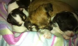 I have three chihuahua pups for sale,  two males long coats and one female short coat.  They are family raised and come from excellent blood lines, these pups are pet and are not registered.  When they go to their new homes, they will leave with their
