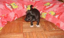 Male 3 month old chihuahua black with white chest and paws which looks like mittens.