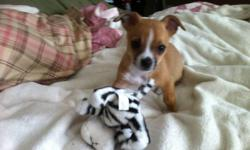 selling 9 week old chihuahua comes with harness, retractable leash, kennel food dishes, puppy food, toys and a few outfits very loveable and energetic have had him for 1 week, reason for selling is working 60 hours a week and want the dog to be in a