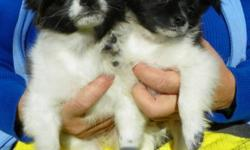 Small cute outgoing pups. TWO Sets of shots & deworm. , 3 mos old. Dewclaws docked, OUtside & paper trained, Both parents 3-4 lbs. Call 780-986-6877