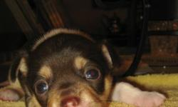 We have two Chihuahua pups one girls she is the black one and the boy he is the brown.  November 29. Ready for Christmas!  Mom is black and beige dad is brown and beige. We want the new owner of the pups to be very socialized with them when leaving. Mom