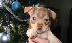 2 chihuahua / terrier puppies left  2 males  ready to go