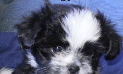 Cue and cuddly puppies from a Japanese mom and a very sneaky chihuahua dad---born August 10 and have had 2 sets of shots and worming---black ans white male and white with sable female   call Karen 403-584-0036