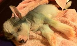 Hairless Chinese crested puppies. Ckc registered, health guarantee, home raised, vet checked. From $1200 on strict non-breeding contract. Www.gizacresteds.ca This ad was posted with the Kijiji Classifieds app.