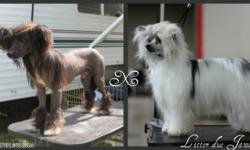 Litter expected Mid January. Purebred, CKC registered Chinese crested puppies. Expecting Hairless and powderpuff puppies. Both Parents have health clearances, Father is Canadian Champion, Mother is champion pointed. Puppies will be available as pets on