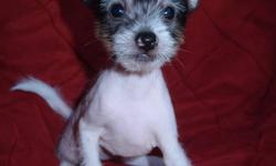Chinese Crested puppyGive me a name inspirit by the holiday of love! I need your love and care this particular day and forever!  $500  for powder-puffs and  $750 for hairless born on 26 of November,  1 girl and 4 boys three hairless and two powder puffs