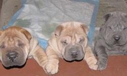 Any reasonable offers will be considered.Now 10 weeks old and need to be in their new homes. Cute ,Cuddly .Miniture Shar Pei puppies., 2 males left. Have first shots and dewormed Already house trained.. Raised in home setting with our grand children and