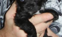ChiPoo's ( Chihuahua/Miniture Poodle) for Sale 1 Male and 2 female for sale. Mom is 9 lbs black Miniture poodle and dad is 5 lbs Chihuahua. One Male and One female will be 7 - 9 lbs and the tiny female(sold) will be no more than 5 lbs as she is super