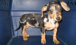 A Chiweenie is the made up name for half Dachshund and half Chihuahua. Mommy is an Irish Spotted smooth coat Dachshund, daddy an auburn Deerhead Chihuahua. This girl came back to us as her new people didn't understand the commitment of a puppy..ie house