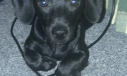 I have 4 male Chiweenie puppies for sale. They are 13 weeks old. Two solid black ones that look like dash hounds. Two spotted ones, one black and white and one brown and white, both with dash hound heads and legs. Very cute and loving. Travel well and