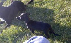 I have 2 male Chiweenie puppies for sale. Both are solid black and look like dachshunds. Very cute and loving. Travel well and have been socialized with other dogs. Come with first and second shots, they also have been dewormed. Lots of energy and very