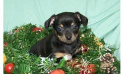 Very tiny Chiweenie puppies 3/4 Chihuahua and 1/4 Mini Dachshund. Two females available. Will stay very small matuiring to 5-6 lbs and 6 inches tall. Would be great for people that have limited living spaces. Friendly puppies, will be wonderful addition