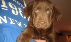 Run and Gun Kennels has 2 puppies available this litter. We have been a working kennel for many years breeding only once every other year providing hunter's with top of the line breeding and hand selections of the right drive and personality to match the