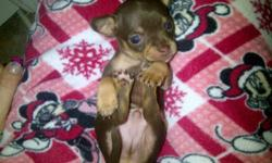 I have 2 TINY chihuahuas for sale. Both are males. Hugo will grow to be just under 4 pounds -950$ he is in the 2,4,5 pic and  dark brown While Monty will be around the 3.5 pound mark -1150 $. pic first &6 light brown with a white chest. Both parents could