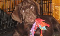 Female chocolate Labrador Retriever CKC Registered 1st & 2nd Puppy vaccinations dewormed 3x Micro-chip ID comes with health guarantee & our kennel contract All our pups are sold with CKC Non-breeding contracts. Please call 905-344-5953 or email for more