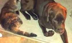 Much loved pets but due to personal reasons we cannot keep them. Purebred Male Chocolate Lab age 7 and Female Calico Cat age 3 looking to go together to a loving home. Great family dog - great with kids! Cat and dog are buddies and cannot be separated.