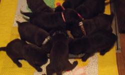 Out of a litter of 9 I have 3 males not spoke for. Puppies are all chocolate,both mother and father are chocolate labs.Puppies are not registered,but are pureblood.They will be vet checked,dewormed,have their nails done and have their first needle before