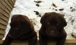 Two beautiful full blooded male chocolate lab puppies. Puppies are farm raised and both parents are chocolates and available for viewing. Very social, playful and adorable. Ready for their new home. They have been vet checked,with first shots and