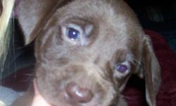 On Nov.9/11 our beautiful Chocolate Lab gave birth to 7 puppies. Their father is a pure bred Weimaraner. We have 4 males and 3 females and they have all been raised with children. They are a lighter chocolate color with blue eyes. They will be ready for
