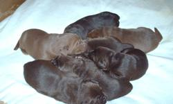 Purebred CKC registered 6 females 2 males ready to go around 8 weeks. We are 2 weeks old now. These pups will have first needles, microchip, vet check and deworming. A non breeding agreement is required.
