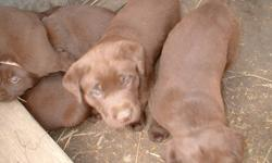 chocolate labs, 3rd shots ready to go , dewormed  phone only pls  780-963-4365